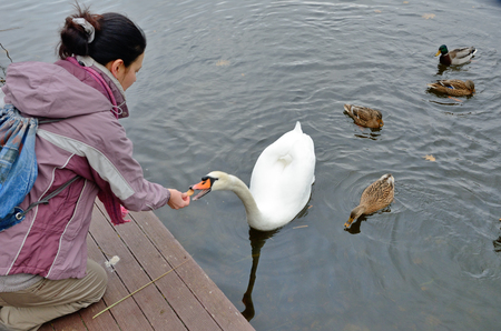 drakes: A women is feeding a white swan and mallards in the water.