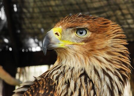One of the varieties of eagle inhabiting mountainous areas of the Crimea