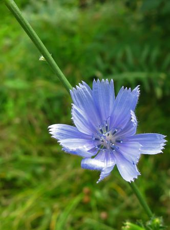 acuminate: Close-up flower chicory growing in Crimea