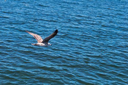azov sea: Seagull flying over the surface of the Azov Sea in the Crimea