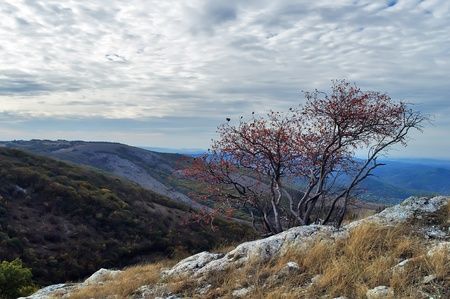 twiggy: Hawthorn bush growing on the mountain Chater-Dag in Crimea