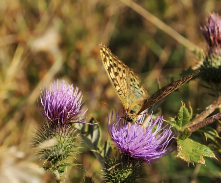 Butterfly collecting pollen from a flower of thistle photo