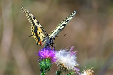 elusive: Swallowtail butterfly collecting nectar from flower thistle