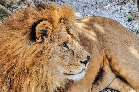 grizzled: Grizzled male lion in safari park Taigan in Crimea