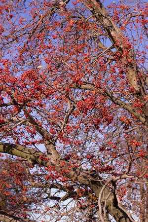 peck: rowan branches, these berries bloom in the winter, like bullfinches peck its