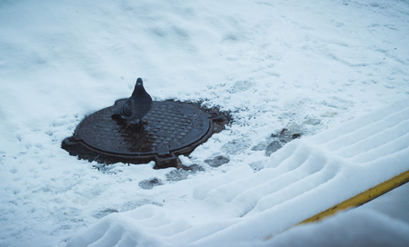 Pigeon on a manhole cover in the winter one, around the snow
