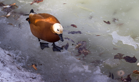 webbed: Red duck on ice in spring March month