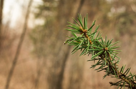 A small pine branch in the forest against a background of blurry trees beautiful green needles