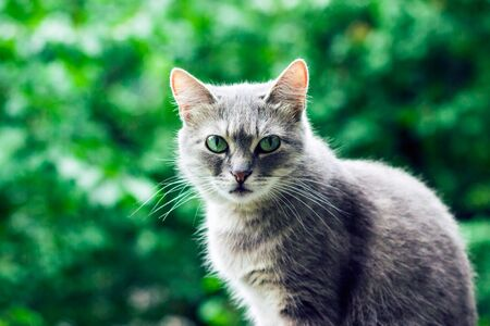 Portrait of a cute gray cat on a background of green foliage in a blur beautiful pet