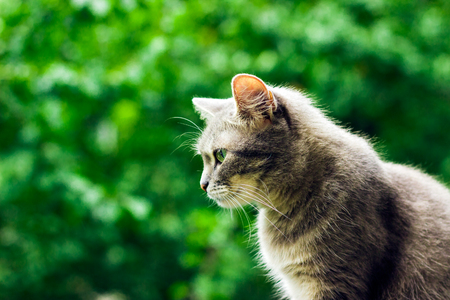 A cute gray cat in profile against a background of green foliage in the blur of her fur brightly highlights the sun Stock Photo