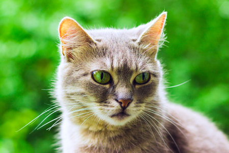 Portrait of a gray cat beauty with a mustache cute pet on a green foliage background