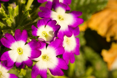 Beautiful violets in the early autumn delight the eye with their charm