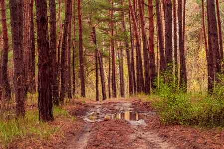 pine forest after a rain puddle on a trail beautiful and bright natural background