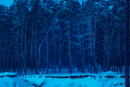 night in a pine forest mysteriously and breathtakingly no one around only tall trees are very beautiful