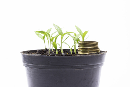 golden coins in a pot with young sprouts aubergine on a gray background business concept and revenue growth