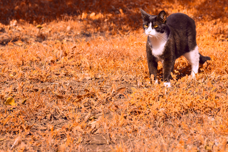 black and white cat menacingly looking to the side standing on the autumn grass it something that alerted Stockfoto