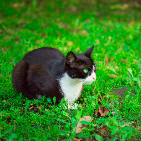 black and white cat with amber eyes lies on the grass and gazes gently at the concept of cute and homeless