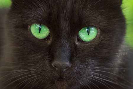 portrait of a black cat with bright amber eyes closeup just fascinates the concept of cute and domestic animals