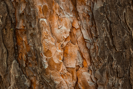 mysterious pine texture with orange wood and dark bark fantastic background for design Stock Photo