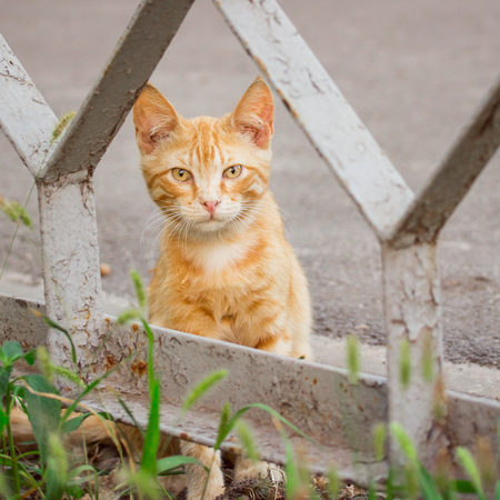 beautiful red haired kitten hid behind the fence concept of cute and domestic animals