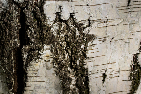 Birch texture with a big dark crack and natural patterns on the bark Background for design