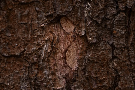 dark and mystical texture of brown bark of coniferous tree close-up with natural patterns forest background for design