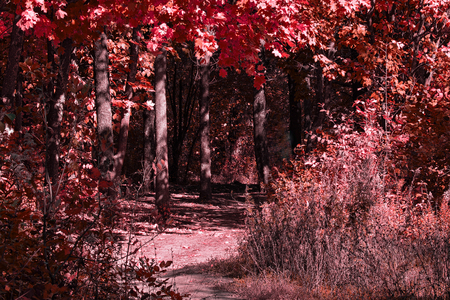 Entrance to the autumn mysterious forest with red leaves on trees The path is brightly lit by the sun The concept of nature and the environment Standard-Bild