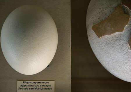 an African ostrich egg lies next to an even larger egg