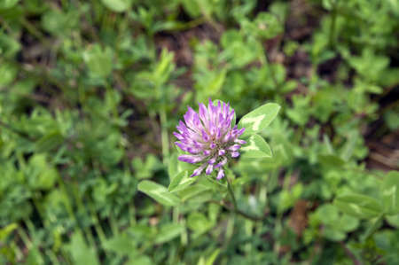 Red clover on the background of green grass  Trifolium pratense  photo