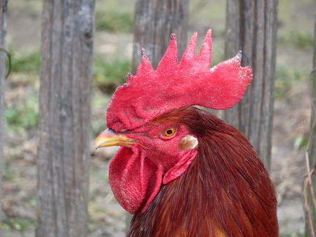 Beautiful red rooster