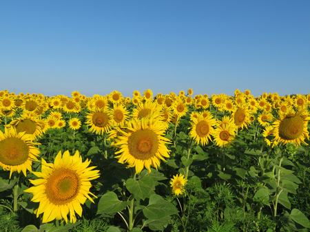 Sunflowers field and clear blue sky, picturesque rural landscape. Blooming sunflowers, background for cooking oil label Banco de Imagens