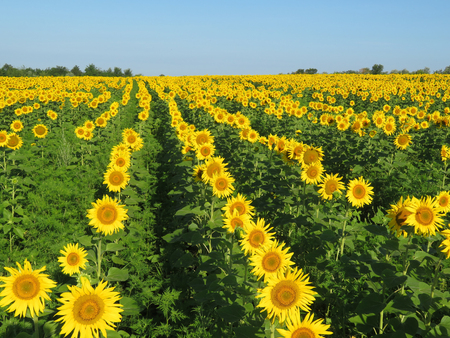 Blooming sunflowers on blue sky background. Sunflowers field, concept for production of cooking oil