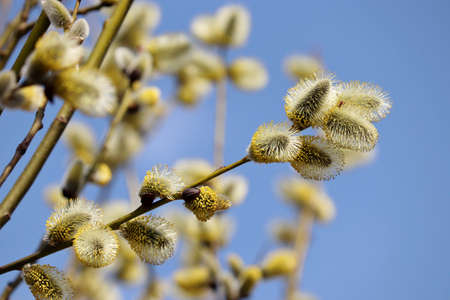 Pussy willow blooming on the branch. Yellow catkins in spring park on blue sky background, allergenic plant