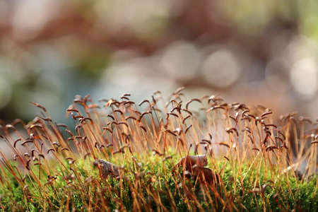 Moss with red spore capsules close up in sunlight, magic forest. Colorful macro shot of fairy nature, dreamy background