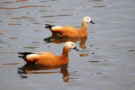 Couple of shelducks (Tadorna ferruginea) swimming on a lake. Male and female wild ducks in water