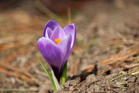 Crocus flower bloom in the spring garden. Violet saffron in sunny day