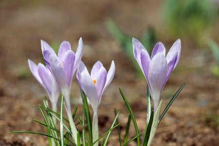 Crocus flowers bloom in the spring garden. Saffron in sunny day 版權商用圖片