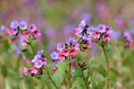 Lungwort flowers in spring forest. Medicinal plant Pulmonaria officinalis, phytotherapy, background with vivid colors of nature
