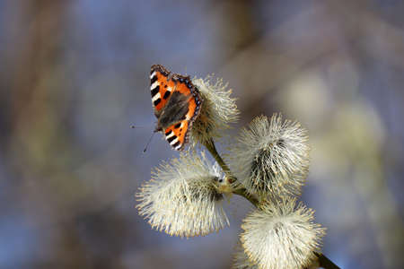 Spring season, European small tortoiseshell butterfly (Aglais urticae) sitting on a blooming pussy willow