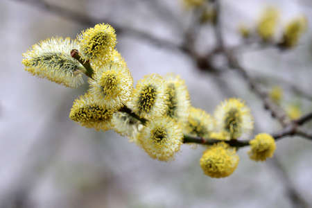 Pussy willow blooming on tree branches. Yellow catkins in spring park, allergenic plant