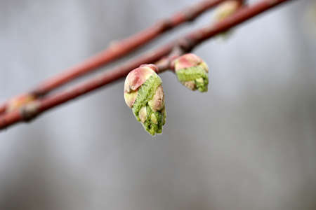 Spring season, green buds on the tree twig. Young nature waking up in the forest