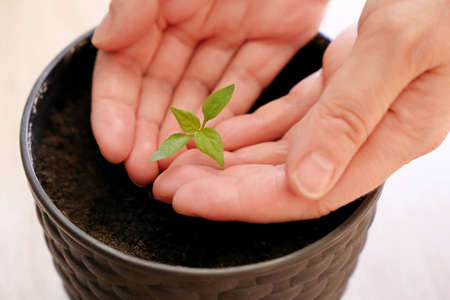 Green sprout in female hands. Growing potted plant at home, ecology concept 版權商用圖片