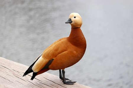 Shelduck (Tadorna ferruginea) standing on a lake coast. Male red duck in a park 版權商用圖片