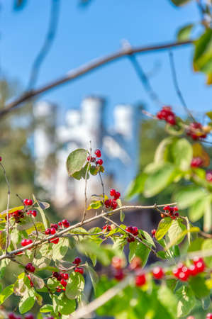 Red viburnum on the background of Ludwigsburg Castle in Monrepos Park. A Museum-reserve with Hiking trails, the Monrepos estate and the family cemetery. Vyborg, Russia, August 2019.