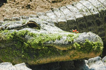 ortrait of alligator resting in swamp in everglads national park photo