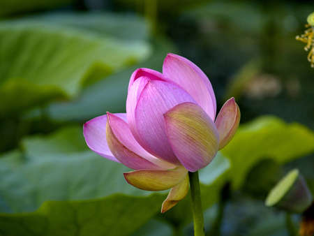Wild pink lotus - endemic Far East, Russia  photo
