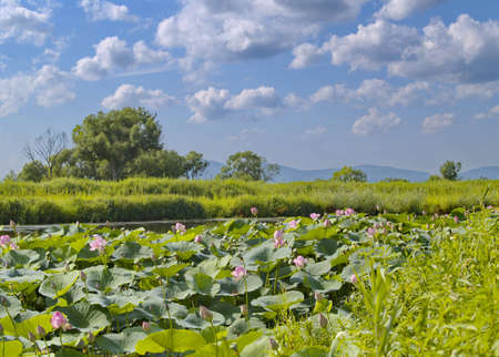 the far east: The Lake flowering pink Lotus, Far East, Russia Stock Photo
