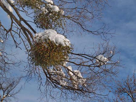 Branch of the mistletoe in winter