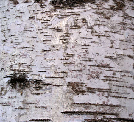 bark background: A background from a bark of a white birch