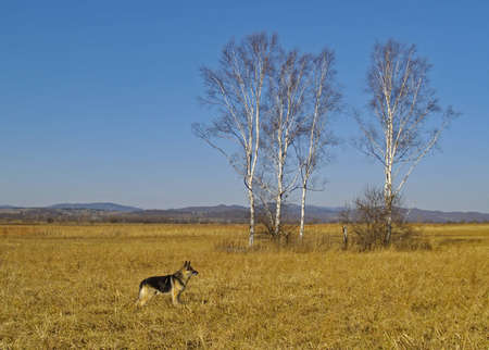 An autumn landscape with birches and a dog